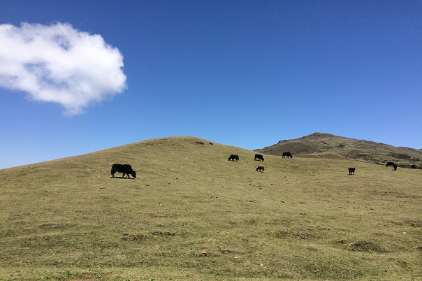 Yaks in high plain terrain